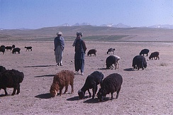 The domestication of ruminants, by 7000 BC, like these fat-tailed sheep in Afghanistan, provided nomads across the Middle East and central Asia with a reliable source of food.