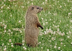 Clover is a preferred food source for groundhogs