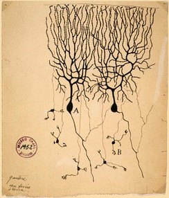 Drawing of neurons in the pigeon cerebellum, by Spanish neuroscientist Santiago Ramón y Cajal in 1899. (A) denotes Purkinje cells and (B) denotes granule cells, both of which are multipolar.