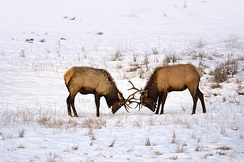 Sparring elks in Banff National Park, Canada