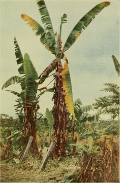 Brandes: Banana Wilt—A banana plant of the Gros Michel variety in Costa Rica attacked by the wilt organism. (1919)