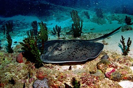 Black-blotched stingray (Taeniura meyeni)