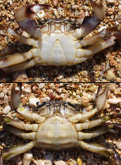 The underside of a male (top) and a female (bottom) individual of Pachygrapsus marmoratus, showing the difference in shape of the abdomen