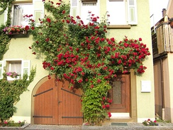 A rose espalier at Niedernhall in Germany.