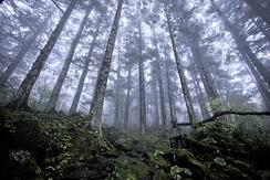 Virgin forest about 2500 m above sea level in Shennongjia Forestry District, Hubei, China