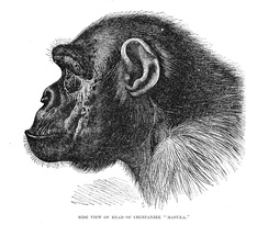 Side profile of a chimpanzee