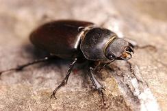 Самка жука-оленя
