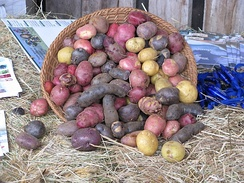 Potatoes with different pigmentation