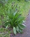 Розеточный побег: прикорневая розетка (Plantago lanceolata)