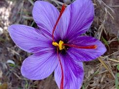 Saffron crocus, Crocus sativus, with its vivid crimson stigmas and styles