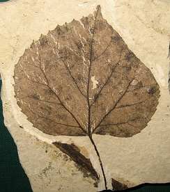 T. johnsoni leaf fossil, 49 Ma, Washington, USA