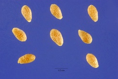 Семена полыни однолетней