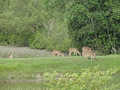 Herd grazing while one (on left) keeps watch at Sudarnakhali, Sundarbans