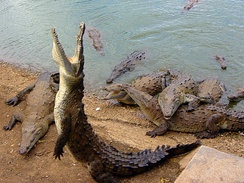 Large group of American crocodiles in Cuba