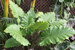 Rugose leaves of Alocasia are stiffer than flat leaves of the same size and thickness would be.