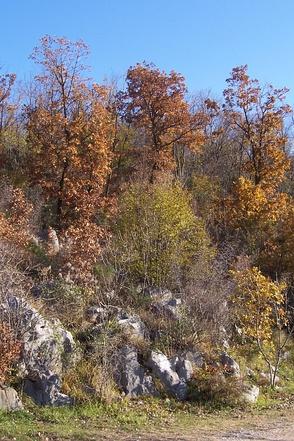 Поросль из пушистого дуба на карстовых скалах, Италия
