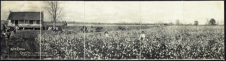 "Panoramic photograph of a cotton plantation from 1907, titled ""King Cotton""."