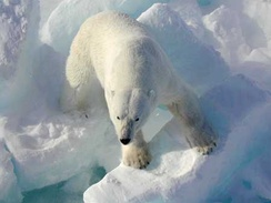 Polar bears have evolved adaptations for Arctic life. For example, large furry feet and short, sharp, stocky claws give them good traction on ice.