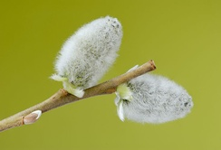Two flowering male catkins from a goat willow tree (Salix caprea).