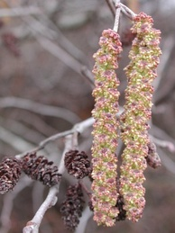 Alnus serrulata has unisexual flowers and is monoecious. Shown here: maturing male flower catkins on the right, last year's female catkins on the left.