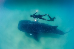 Swimming alongside an adult free diver