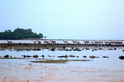 Herd of rusa deer at the Baluran National Park