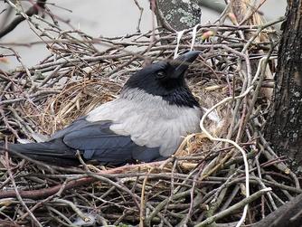 Серая ворона на гнезде