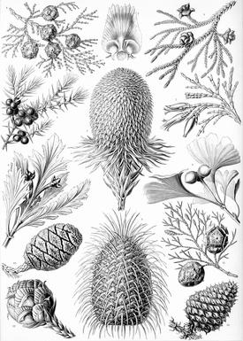 Haeckel Coniferae.jpg