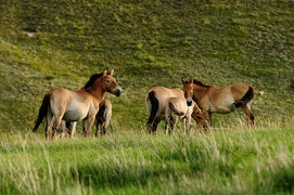 Khustain Nuruu National Park, home of the wild horse Takhi, is just 90 kilometres (56 miles) west of UB.