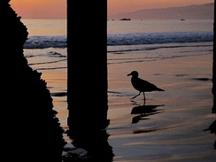 A common bird called the California gull found on the beach