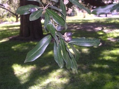 Leaves and acorns of a southern live oak