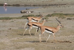 Male gazelle with females