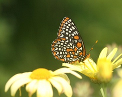 Baltimore checkerspot, Euphydryas phaeton