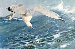 Seabirds, like this European herring gull, attack herring schools from above.