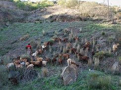 Goat-herding in Spain.