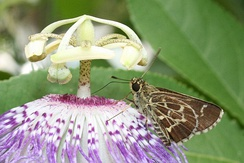 Lace-winged roadside-skipper, Amblyscirtes aesculapius