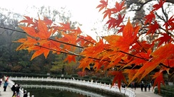 Autumn maple leaves in Qixia Mountain Temple.