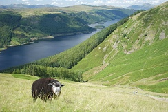 A Herdwick grazing above Thirlmere.