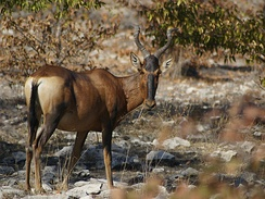 A red hartebeest showing the dark face, black tail, white rump and V-shaped horns