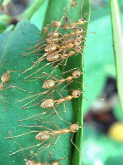 Weaver ants collaborating to pull nest leaves together