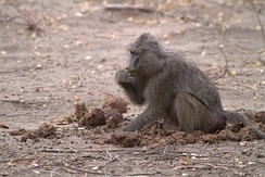 Elephants do not digest much of their food. Other animals, such as this baboon, may pick through elephant dung looking for undigested seeds.