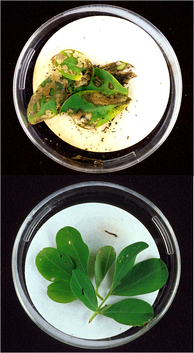 Bt-toxins present in peanut leaves (bottom image) protect it from extensive damage caused by lesser cornstalk borer larvae (top image).[123]