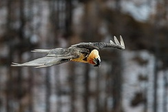 A flying bearded vulture in Gran Paradiso National Park, Italy