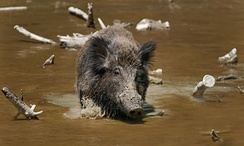 Wild boar frequently wallow in mud, possibly to regulate temperature or remove parasites