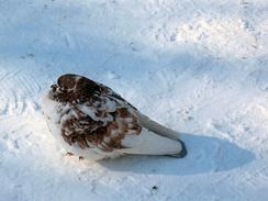 Голубь согревается, нахохлившись на морозе