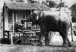 An elephant picks up a basket with its trunk. Set photograph from the film A Wise Old Elephant directed by Colin Campbell (1913), Margaret Herrick Library.