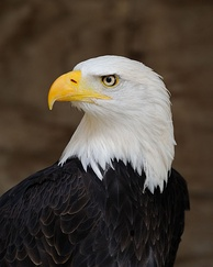 The bald eagle has been the national bird of the United States since 1782.[208]