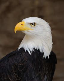 The bald eagle has been the national bird of the United States since 1782.[206]