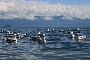 Чайки в Чивыркуйском заливе. Катунь.