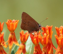 Coral hairstreak, Satyrium titus, on butterfly weed